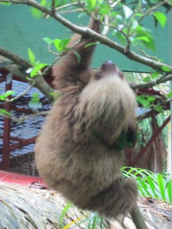 Gecko Trail Adventures Animal Rescue Centre, Chocolate Lady and Waterfall Tour : Baby Sloth
