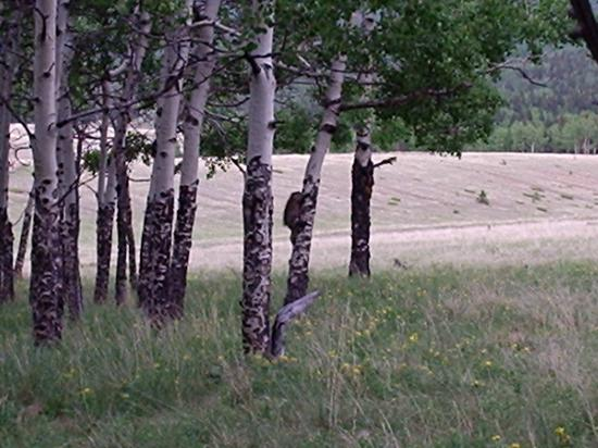 Mueller State Park: A small group of aspen trees has a porcupine climbing up one of them.