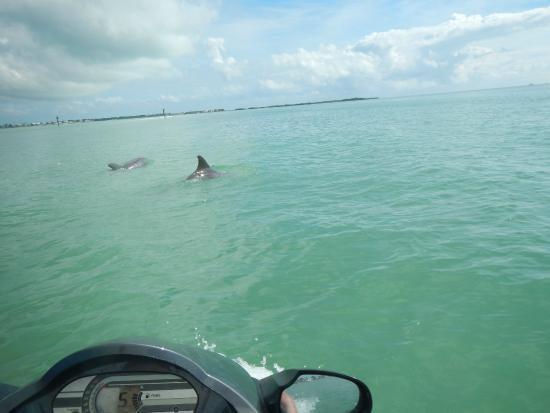 Florida Keys Jet Ski Rentals: Dolphins playing with the Jet Ski