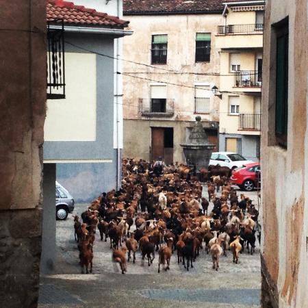 Woodston, KS: Goats passing by the Villa