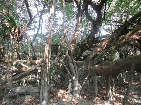 Tinsukia, India: The Giant Tree at the sanctuary
