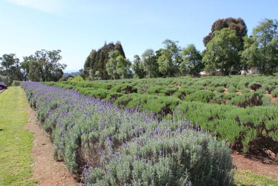 Warratina Lavender Farm: Farm