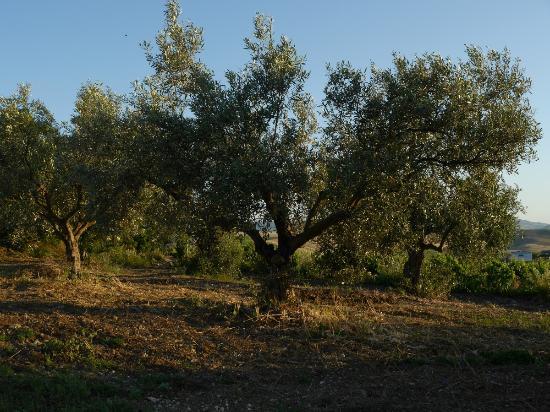 Azienda Agricola Spadafora : Olivenbaum