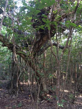 Varahicacos Ecological Reserve: Jungle nest