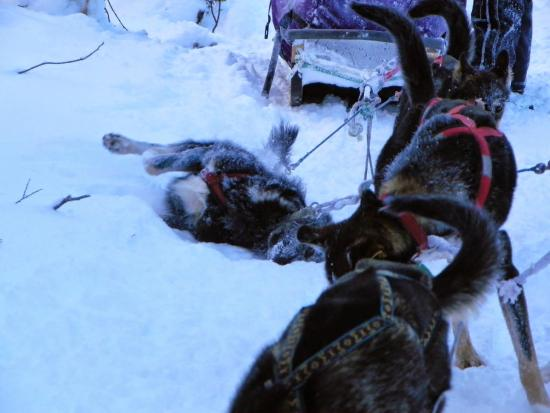Kingmik Dog Sled Tours: Rolling in the snow after the first leg