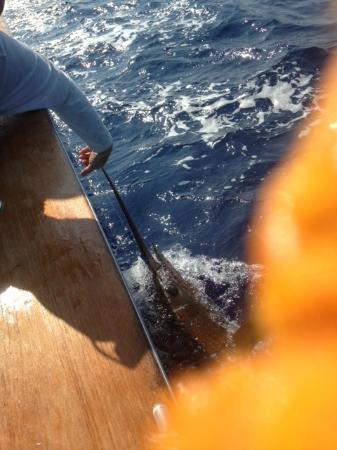 Huntress Sport Fishing : Estimated 350 pound Blue Marlin about to be released.