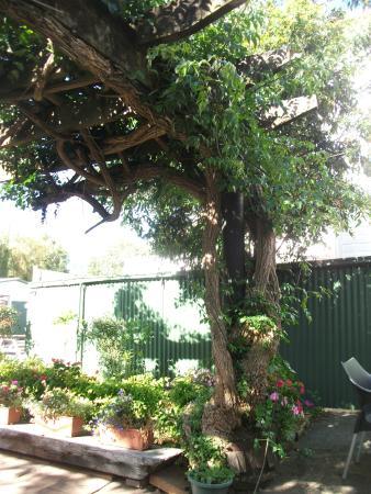 Admirals Restaurant: Beer garden tree