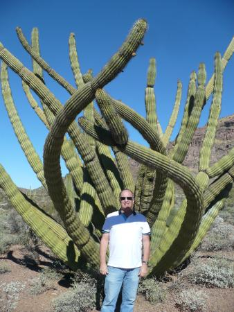 Ajo Mountain Drive: crested organ pipe
