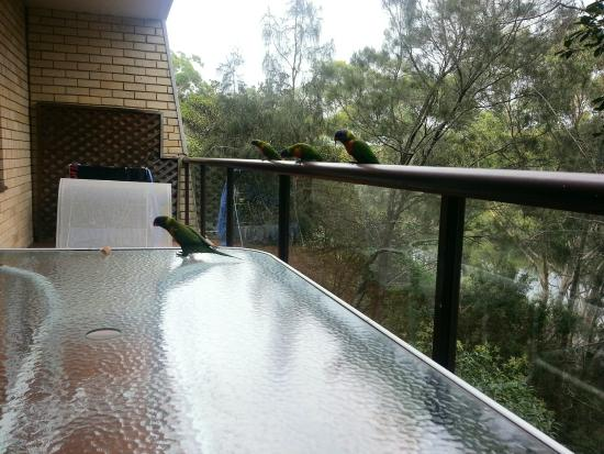 Riverview Apartments: Friendly rainbow lorikeets on our apartment's balcony.