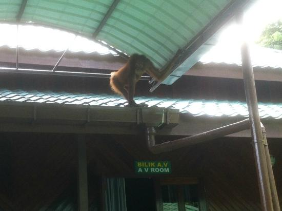 Orang Utan Sanctuary: little Rosa came for a visit.