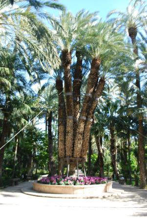 The Imperial Palm Tree - Foto van Huerto Del Cura Jardin Artistico Nacional, ...