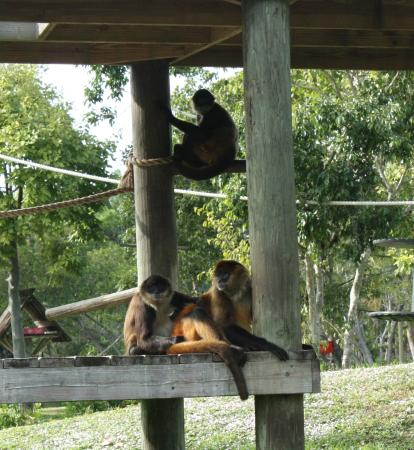 Monkeys On The Island Picture Of Naples Zoo At Caribbean Gardens Naples Tripadvisor