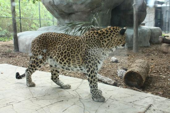 Naples Zoo at Caribbean Gardens: Pacing back and fourth from boredom.