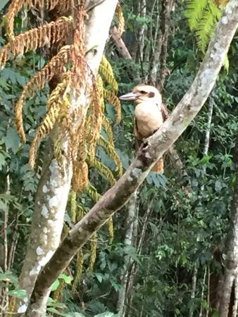 تشامبرز وايلد لايف رينفوريست لودجيز: Laughing Kookaburra which perched outside my room, photographed with my handphone.