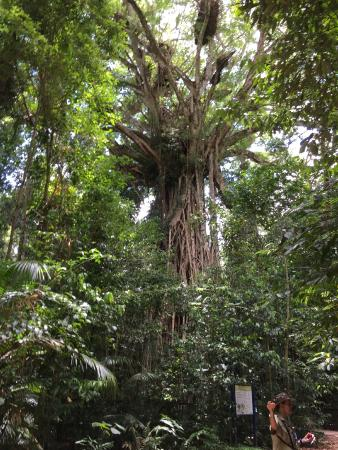 Chambers Wildlife Rainforest Lodges: The Cathedral Fig Tree is mighty big.