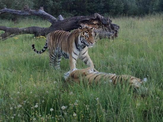 Lionsrock Lodge: A playful couple of Tigers