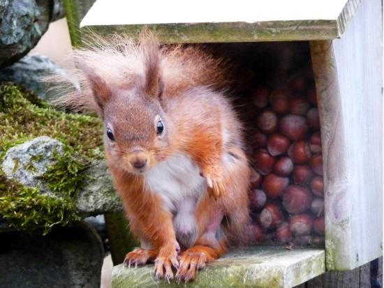 Red Squirrels Visiting The Feeders
