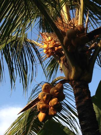 Ubud Lestari Bungalows: coconut trees