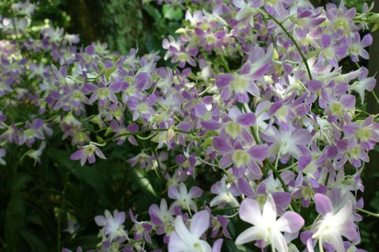 Orchid e photo de jardin botanique de singapour for Jardin botanique singapour