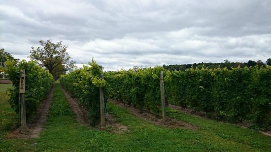 Red Tail Ridge Winery : Vineyard