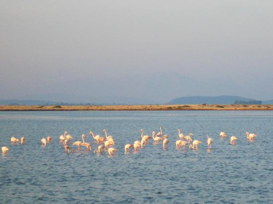 Αλέξανδρος, Ελλάδα: flamingos in lefkas
