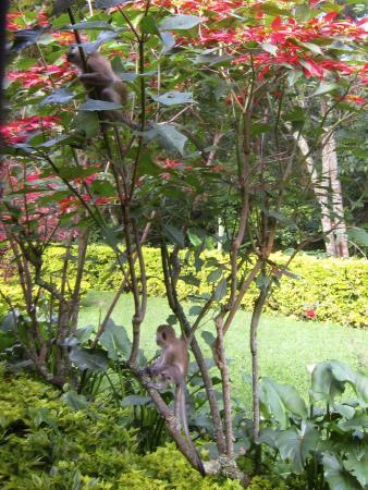 Gisakura Guest House : monkeys outside at breakfast