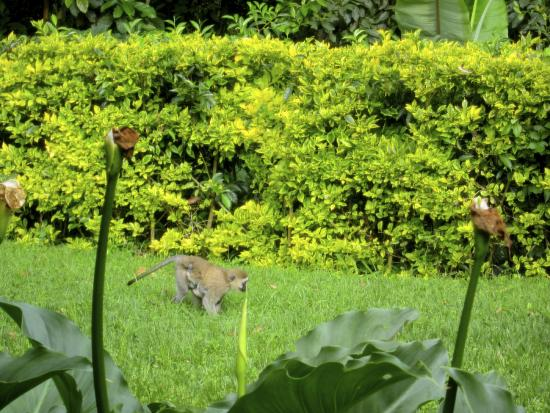 Gisakura Guest House: monkeys outside at breakfast