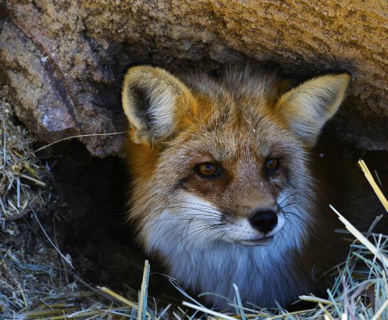 Heritage Park Zoo: Red Fox