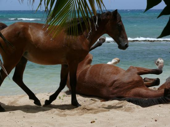 Ababor Suites: Horses playing at Bastimento Beach