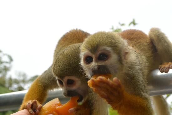 Pousada Manaus: Affen bei der Fütterung