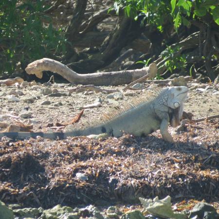 Barefoot Travelers Kayak Tour to Monkey Island : Iguana on the island