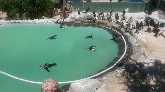Sanccob Western Cape - Penguin Rehabilitation Center : Rescued little ones