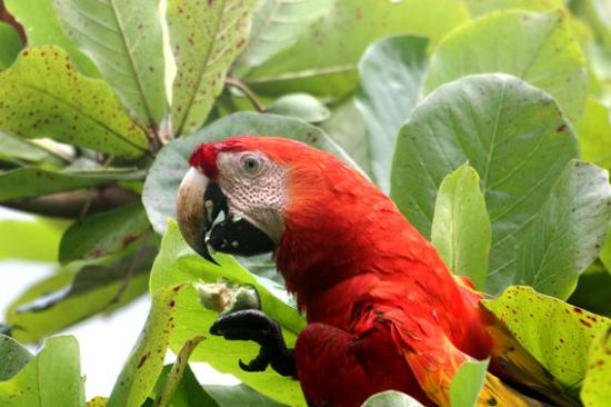 La Leona Eco Lodge: macaws eatinng almonds in front of lodge