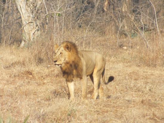Niassa Wildlife Reservation, Mosambik: Ook de leeuw is hier te bewonderen.