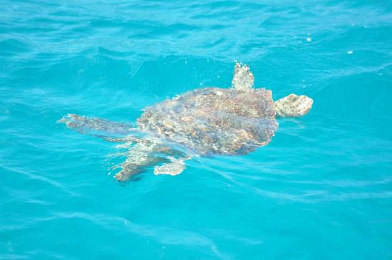 Second Wind Charters: Sea turtle