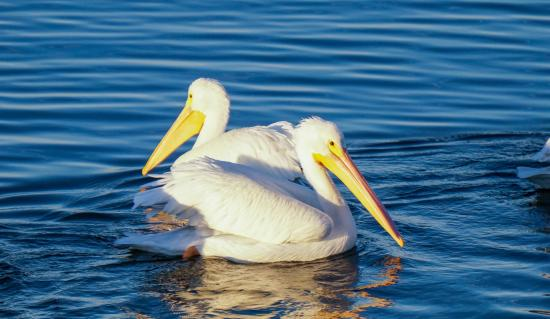 Bolsa Chica Ecological Reserve: White pelicans looking for food