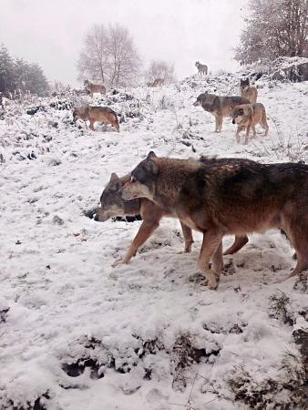 Wolves of Gueret: Loups