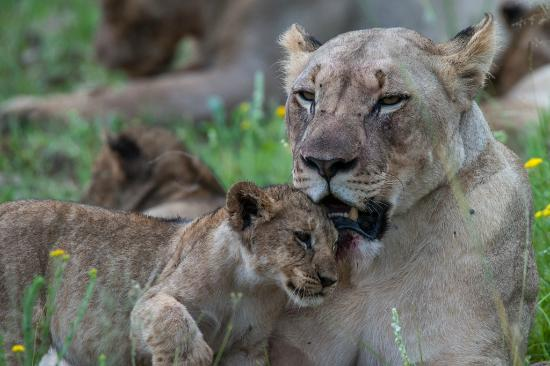 Golden Leopard Resort - Manyane: Lioness and Cub seen inside the Game Reserve