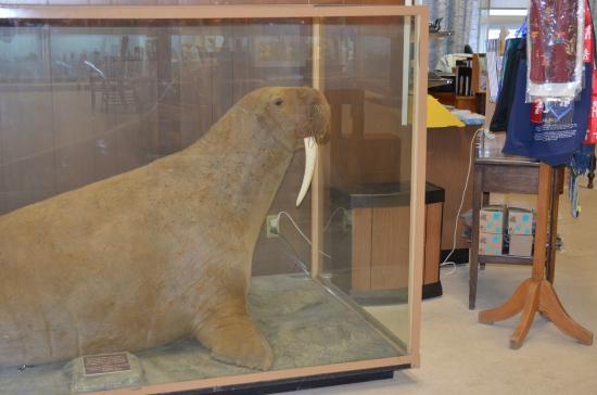 Eskimo Museum : tricheco