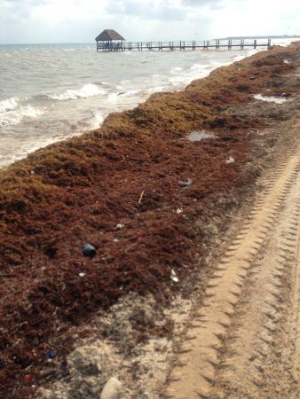 Azul Beach Resort Riviera Cancun : seaweed at the beach