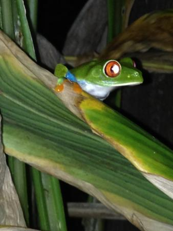Rio Celeste Backpackers: resident frog