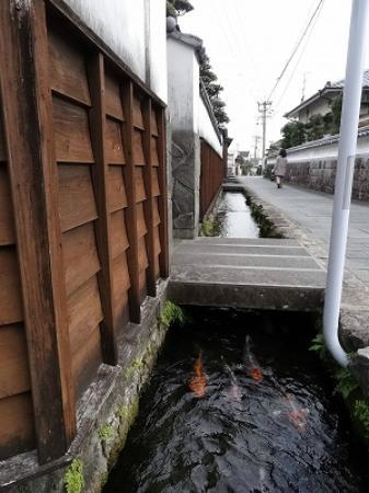 Shimabara Castle Town: こちらの水路にもコイが泳いでいます。