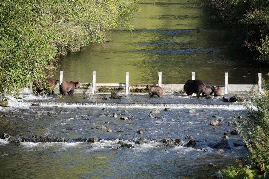 Grizzly Bear Lodge & Safari: Grizzly bear sightings
