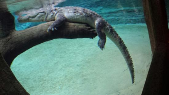 Wroclaw Zoo & Afrykarium: Crocodile