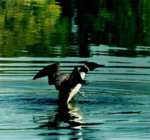 Evergreen Lodge: Wildlife - Loon - watching.