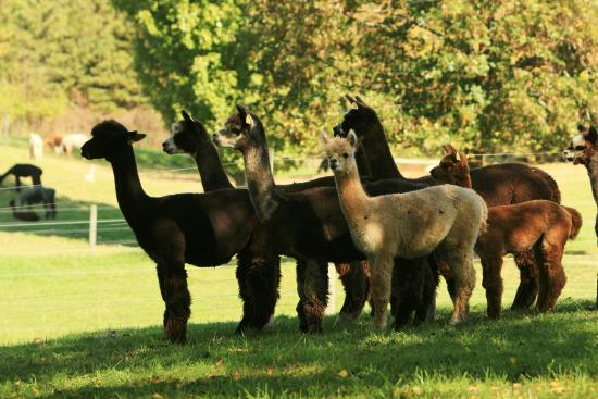 Bloomfield, NY: Lazy Acre Alpacas