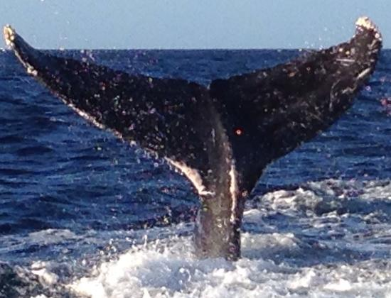 Captain Steve's Rafting: Maui Whale Watch 12/2014