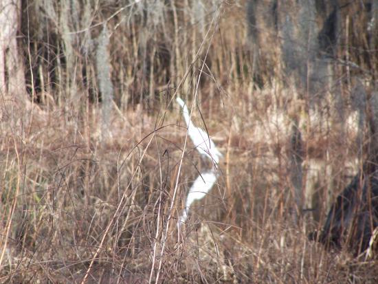 Audubon Swamp Garden: White egret!