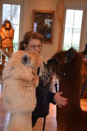 Alpacas Yogi and Boo Boo