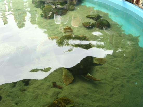 Projeto Tamar Florianopolis : tartaruga macho (é possível diferenciar pelo rabo - a fêmea não tem rabo)